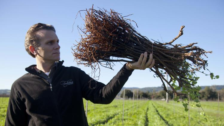 In this photo taken Thursday, Dec. 13, 2012 Chief Operating Officer Jon Ruel holds up a bundle of St. George rootings that will be planted in the spring at Trefethen Family Vineyards in Napa, Calif.  Napa Valley, one of California's premier wine growing regions, has an uncommon problem these days: Not enough new grape root stock to go around. Commercial nurseries were caught short by a trifecta of developments: aging vines planted after a deadly phylloxera outbreak of the 80s, the demand created by an improving economy and move toward grape plantings that allow some mechanization.(AP Photo/Eric Risberg)