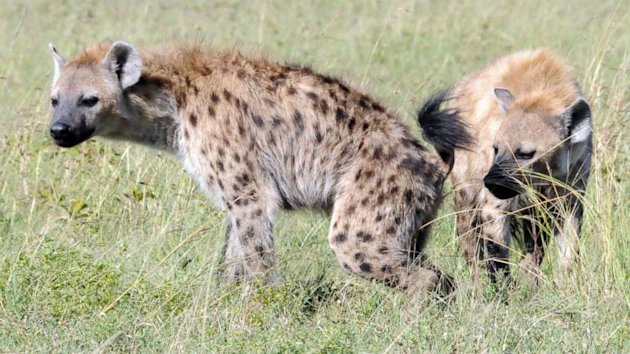 Hyena Identity Linked to Odor Molecules Made by Bacteria (ABC News)