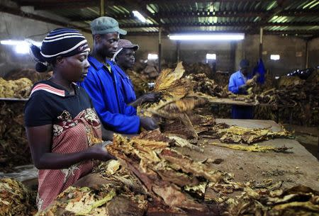 Zimbabwe's tobacco production hit by heavy rains