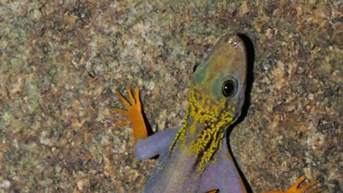 "In this undated photo provided by the World Wide Fund for Nature (WWF), a new psychedelic gecko is seen in Vietnam. It was discovered in Hon Khoai island, Ca Mau province, in southern Vietnam. The psychedelic gecko and a monkey with an ""Elvis"" hairdo are among 208 new species described last year by scientists in the Mekong River region of Southeast Asia, a conservation group announced Monday, Dec. 12, 2011. (AP Photo/WWF, Lee Grismer) EDITORIAL USE ONLY"