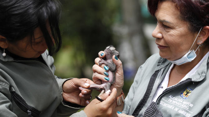 Caretaker Marta Silva, right, and biologist Judith Cardenas look at a baby night monkey at a wildlife shelter in Bogota, Colombia, Thursday, Feb. 21, 2013. Silva works with the neonatal unit of Bogota's Wildlife Reception Center, part of the capital's environment ministry, where she has nurtured species ranging from birds to turtles to primates. Now she is looking after the night monkey of the genus Aotus that lives in the tropical forests of South America, including Colombia, Brazil and Ecuador. (AP Photo/Fernando Vergara)