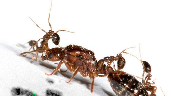 Fire Ant Monarchy Ruled by 'Social Chromosome'