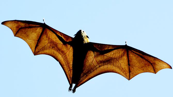 A file photo shows a grey-headed Flying-fox (Pteropus poliocephalus), a native Australian bat. Three flying foxes were found to be carrying a deadly virus
