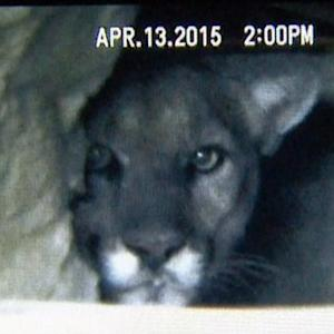 Wild Mountain Lion Discovered Living Under House near Hollywood Sign
