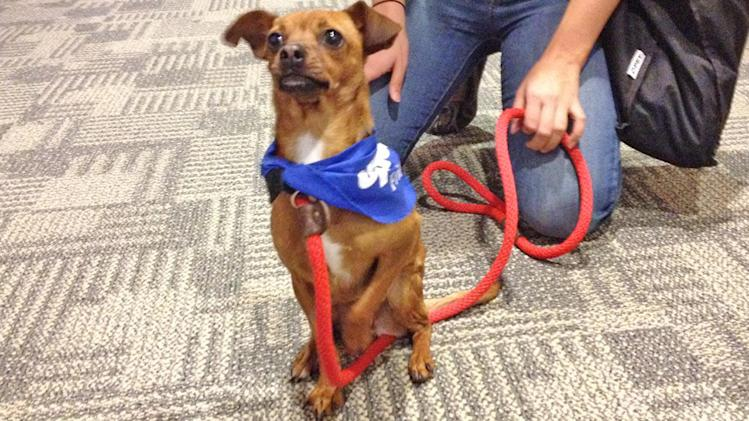 Pet of the week: 2-year-old Chihuahua-mix named Sally