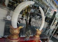 "Ivory tusks are on display at an antique and ivory store in Bangkok on February 28, 2013. The Philippines said Tuesday it would destroy five tonnes of confiscated elephant tusks as part of a global campaign to raise awareness against the illegal trade of so-called ""blood ivories"""
