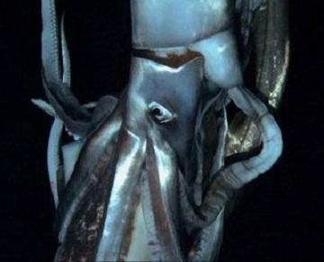 Mysterious Giant Squid Finally Caught on Film
