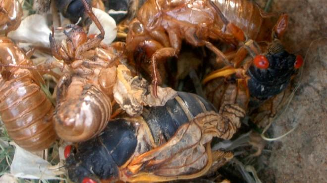 """Adult cicadas will emerge from the ground as if """"from some horror movie."""""""