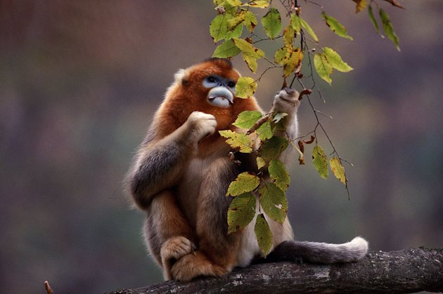 Golden snub-nosed monkey, as seen on the 'Mountain' episode of Planet Earth.