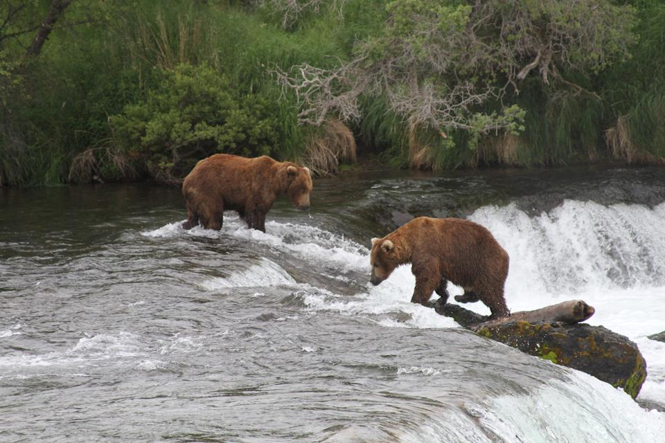 Two brown bears look for salmon at Brooks Falls at Katmai National Park and Preserve, Alaska on July 4, 2013. (AP Photo/Mark Thiessen)