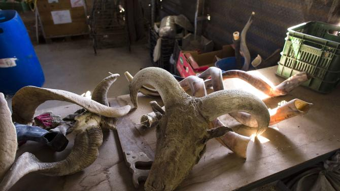 Horns are seen in Shimon Keinan's shofar manufacturing workshop in Givaat Yoav in the Golan Heights