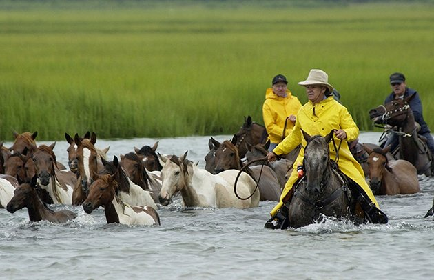 Saltwater Cowboys guide wild Chincoteague ponies as they make their way across Assateague channel. (AP Photo/Scott Neville)