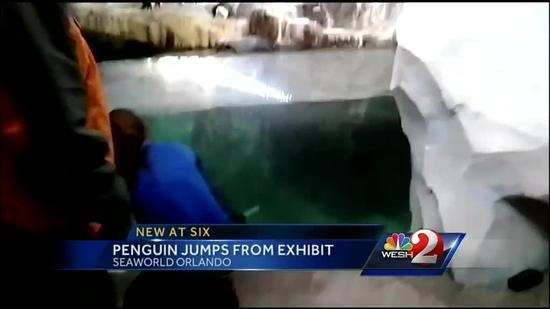Penguin gets loose at SeaWorld's Antarctica