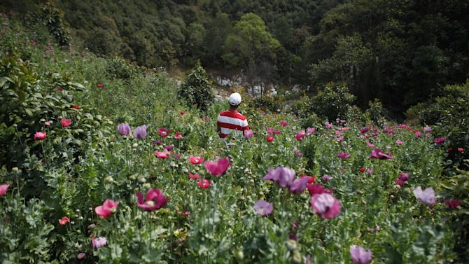 In this Jan. 26, 2015 photo, a farmer stands in his poppy field in the Sierra Madre del Sur mountains of Guerrero state, Mexico. The heroin trade is a losing prospect for everyone except the Mexican cartels, who have found a new way to make money in the face of falling cocaine consumption and marijuana legalization in the United States. (AP Photo/Dario Lopez-Mills)