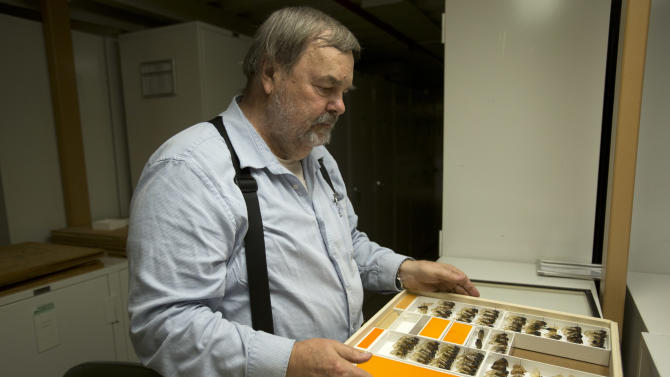 Gary Hevel, a research collaborator with the Dept. of Entomology at the National Museum of Natural History, opens a case of preserved cicadas, a brood of which are expected to emerge this spring in the Washington area, from storage at the Smithsonian Institution's Museum Support Center in Camp Springs, Md. on Tuesday, April 23, 2013. (AP Photo/Jacquelyn Martin)