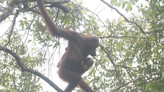 Secret Population of Orangutans Found