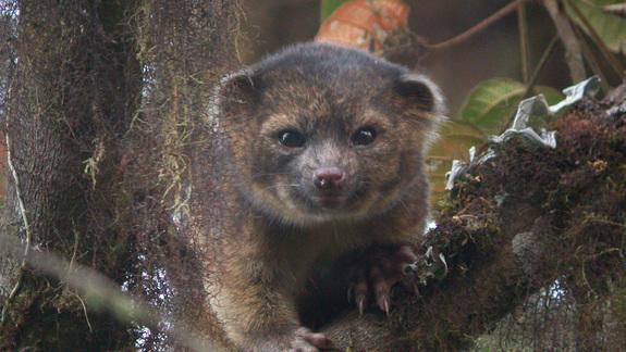 Furry Little Carnivore, Once Shown in Zoos, Is a New Species
