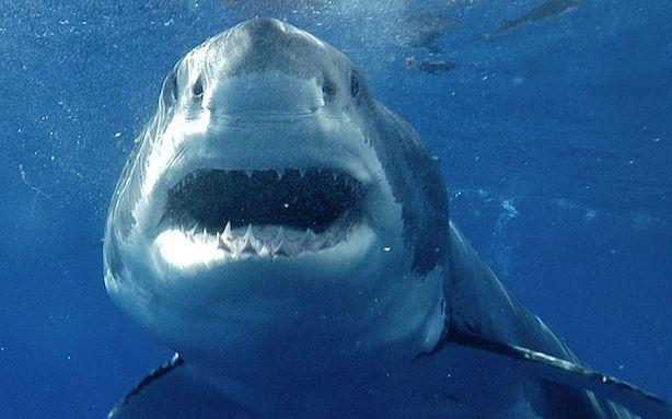 Great Whites Didn't Descend from 'Megasharks'; Oxytocin Makes Men More Monogamous