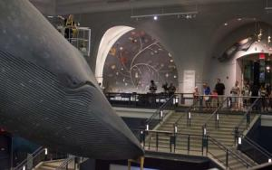 Museum worker Brittany Janaszak cleans a 94-foot-long blue whale model at the American Museum of Natural History in Manhattan, New York