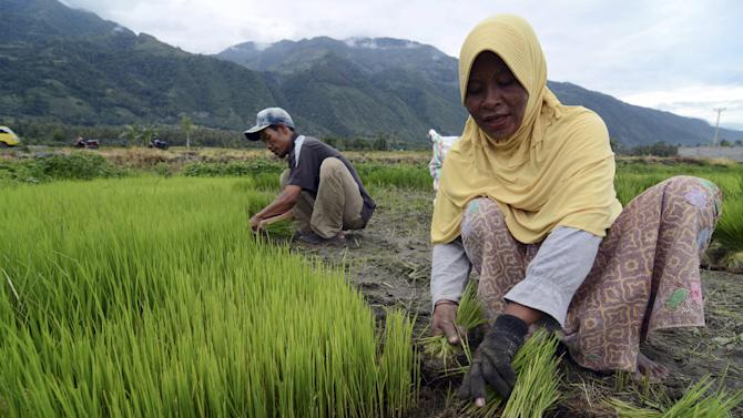 Farmers prepare rice seedlings for replanting in a village in Sigi regency, Central Sulawesi, Indonesia