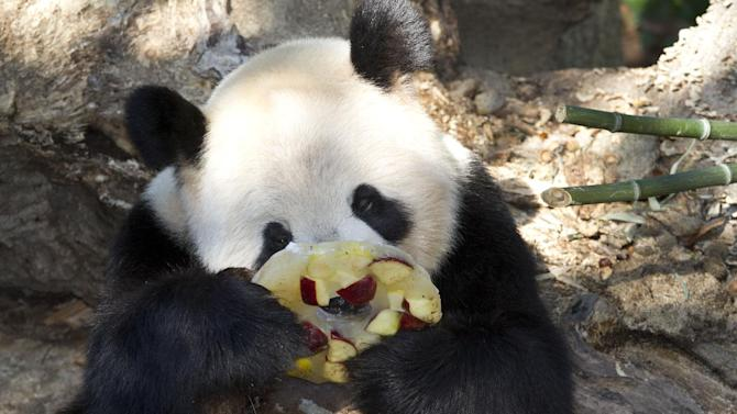The National Zoo's giant panda Tian Tian eats a frozen fruit treat at zoo in Washington, Thursday, Oct. 11, 2012. The zoo announced Thursday that the recent death of Tian Tian and Mei Xiang's cub was due to liver and lung damage. (AP Photo/Jacquelyn Martin)