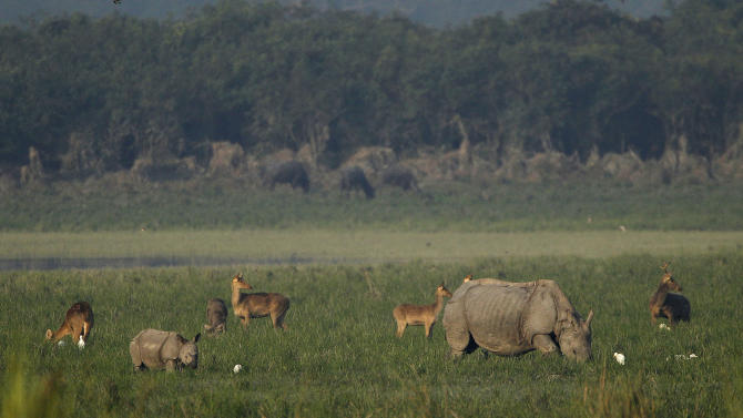 "In this Monday, Dec. 3, 2012 photo, one-horned rhinoceroses graze alongside other animals inside the Kaziranga National Park, a wildlife reserve that provides refuge to more than 2,200 endangered Indian one-horned rhinoceros, in the northeastern Indian state of Assam. Even in this well protected reserve, where rangers follow shoot-to-kill orders, poachers are laying siege to ""Fortress Kaziranga,"" attempting to sheer off the animals' horns to supply a surge in demand for purported medicine in China that's pricier than gold. A number of guards have been killed along with 108 poachers since 1985 while 507 rhino have perished by gunfire, electrocution or spiked pits set by the poachers, according to the park. (AP Photo/Anupam Nath)"
