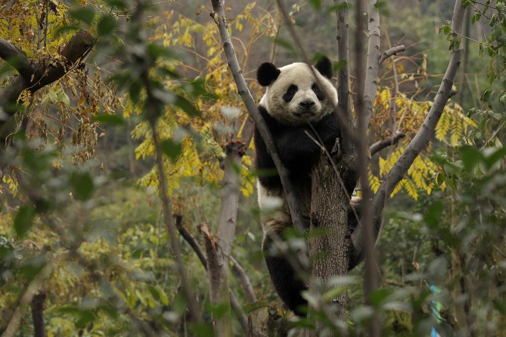 China's wild panda population up nearly 17 percent