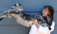 Stewie The World's Longest Cat Dies Of Cancer