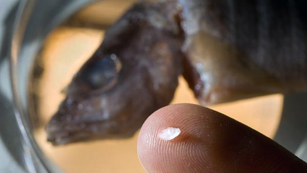 'Ear Stones' Reveal Where Young Fish Lived