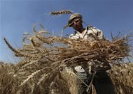 A farmer carries newly harvested wheat at Miet Radie farm in El-Kalubia governorate, Egypt. May 8, 2012. . REUTERS/Amr Abdallah Dalsh