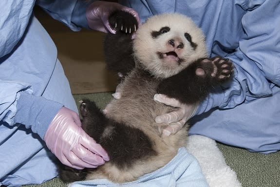 Full-Bellied Panda Cub Pushes Up on Four Legs