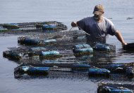 Fisherman Bill Sweeney, of Vineyard Haven, Mass., collects adult scallops from cages in Lagoon Pond, in Vineyard Haven, on the island of Martha's Vineyard, Friday, Aug. 26, 2011. Sweeney removed the scallops, where they were placed to spawn, to be released back in the wild in advance of Hurricane Irene. The scallops could be killed if left in the traps during a hurricane. (AP Photo/Steven Senne)