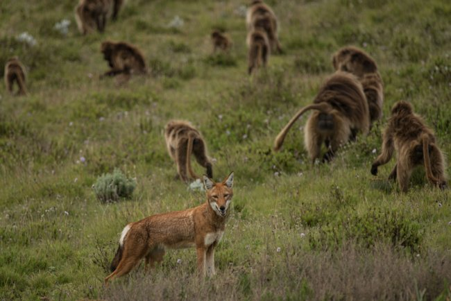Ethiopian wolf and geladas