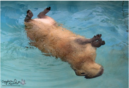 Capybaras are semi-aquatic mammals.