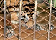 A female tiger and her cubs at Jambi Rimbo zoo on September 25, 2012. A critically endangered Sumatran tiger and two African lions were poisoned and killed in an Indonesian zoo, a local official said
