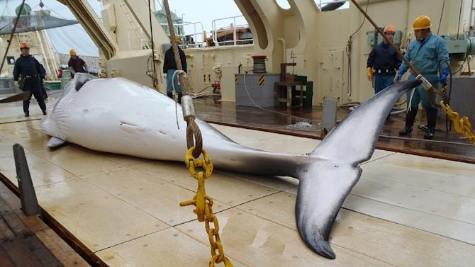 Photo released by the Instutute of Cetacean Research on November 18, 2014 shows a minke whale on the deck of a whaling ship for research whaling at Antarctic Ocean
