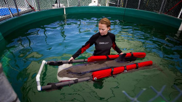 A false killer whale calf wades with a veterinarian technician Chellan Robinson after being rescued near the shores of Tofino and brought to the Vancouver Aquarium Marine Mammal Rescue centre in Vancouver