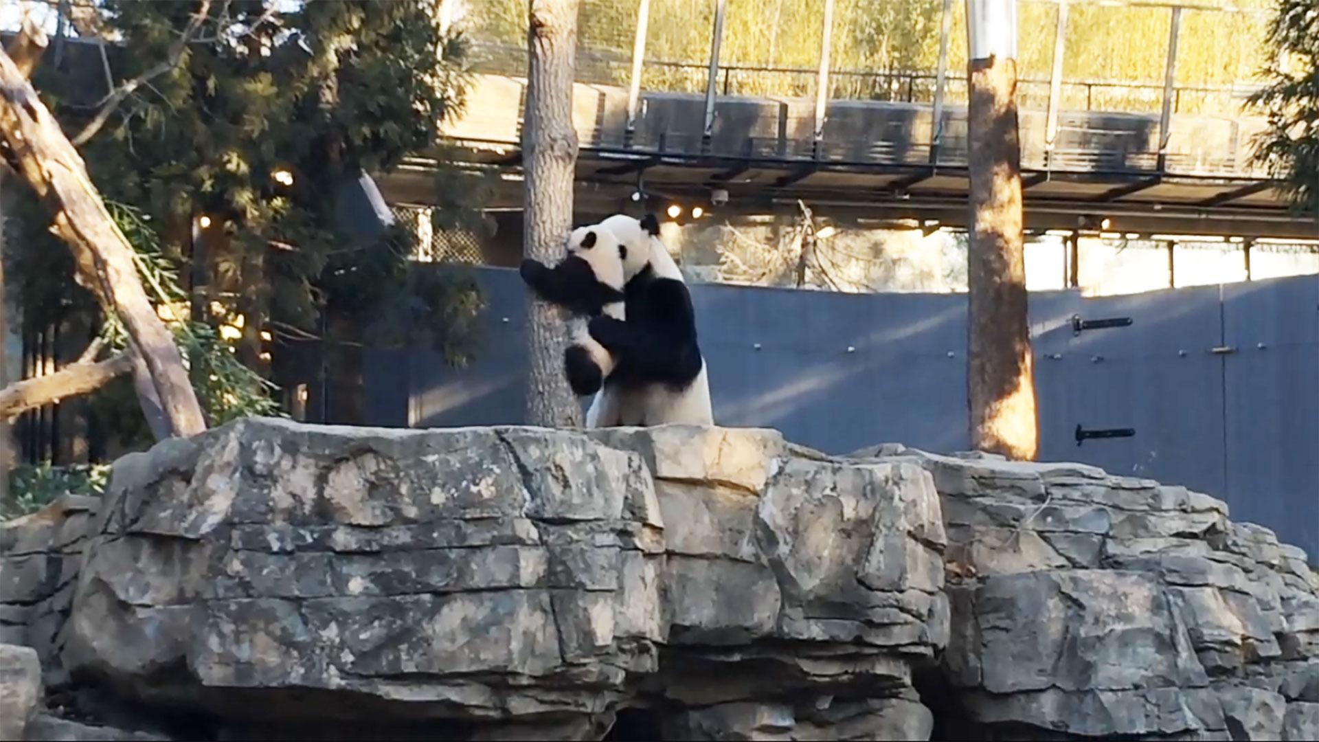 Bei Bei the panda needed mom's help getting down from a tree
