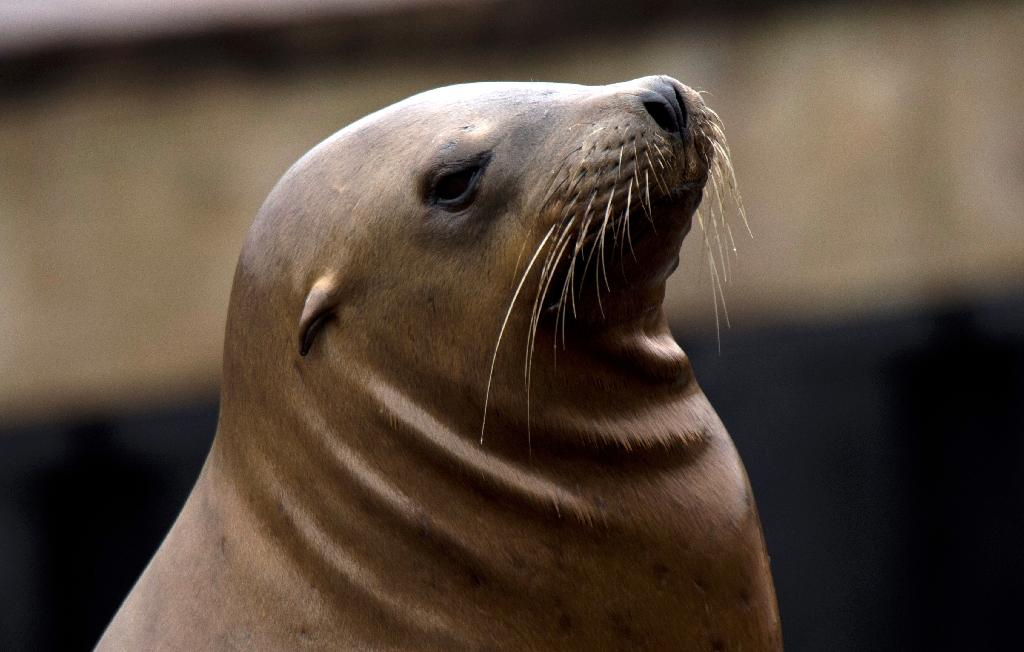 Golden Gate Bridge jumper says sea lion saved him
