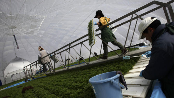 In this Friday, Feb. 22, 2013 photo, workers who survived  the March 11, 2011 earthquake and tsunami, take lettuce seedlings to plant at a domed greenhouse in Rikuzentakata, Iwate Prefecture, northeastern Japan. Few businesses have rebuilt in the worst hit areas of the disaster zone, and uncertainty over prospects for reconstruction is deterring most from outside from even considering investments there. One of the few projects to start up here so far, Granpa Farms, is an agrotechnology company from Kanagawa, near Tokyo, that has built eight dome-shaped high-tech greenhouses for hydroponic farming of lettuce and other greens. (AP Photo/Junji Kurokawa)