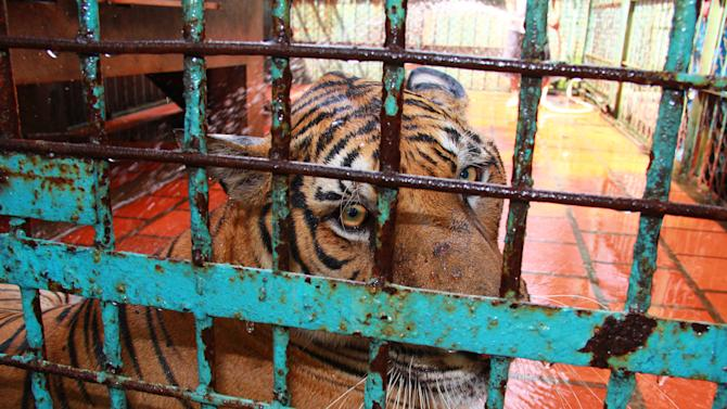 """In this photo taken on July 4, 2012, a tiger sits in a cage at a tiger farm in southern Binh Duong province, Vietnam. The Switzerland-based conservation group WWF said in a report Monday, July 23, 2012 that Vietnam's 2007 decision to legalize tiger farms on a pilot basis has """"undermined"""" its efforts to police illegal trade in tiger products. (AP Photo/Mike Ives)"""