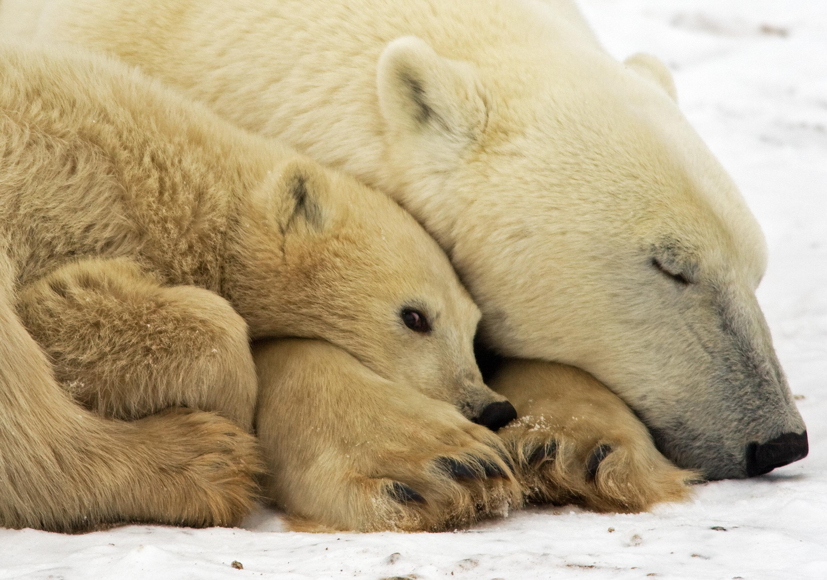 Warming leads to more run-ins with polar bears