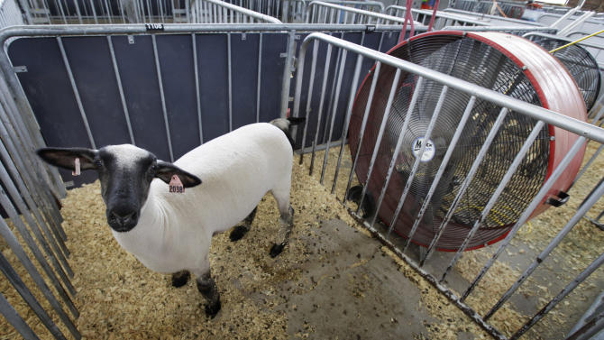 A sheep stands in front of a large fan in its pen at the All-American Junior Sheep Show at the Iowa state fairgrounds, Thursday, July 5, 2012, in Des Moines, Iowa. Oppressive heat is slamming the middle of the country with record temperatures that aren't going away after the sun goes down. (AP Photo/Charlie Neibergall)