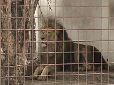 Raw: Lions Removed From Gangster's Property