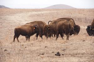 Small Problem: Bison Shrink as Planet Warms