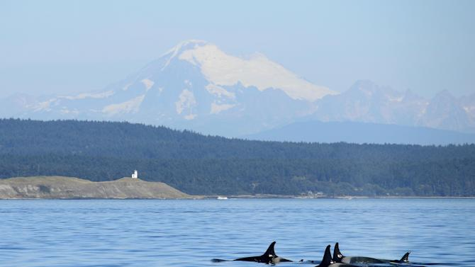 In this photo taken on Saturday, Sept. 13, 2014, a group of orca whales swim in the waters off San Juan Island near Friday Harbor, Wash., with Mt. Baker in the distance. (AP Photo/Rachel La Corte)