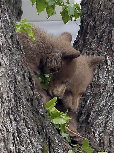 Two bear cubs peer from a tree Thursday May 3, 2012, in Altadena, Calif. Authorities say noise from TV helicopters may have spooked the bear cubs and momma bear into staying in the tree. Authorities are waiting the bears out and hope they will return to the nearby Angeles National Forest on their own during the evening.(AP Photo/Nick Ut)