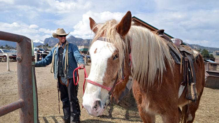 In this photo taken on April 21, 2014, wrangler Kyle Rood leads Joker, a Belgian draft horse, for a ride at Sombrero Ranches riding stables in Estes Park, Colo. The outfit uses draft horses along with quarter horses for tourists. The bigger horses are better able to handle the mountainous terrain as well as heavy riders. Stables across the West are employing more of the larger draft horses to accommodate people who have gotten heavier in recent years. (AP Photo/P Solomon Banda)
