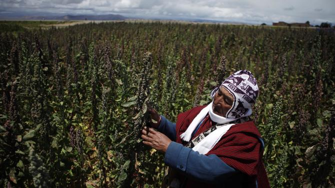 "In this Feb. 16, 2013 photo, farmer Geronimo Blanco shows his quinoa plants in Patamanta, Bolivia. Blanco also grows potatoes, carrots and peas. A burgeoning global demand for quinoa is spurring new cultivation all across Bolivia's western highlands as prices for the Andean ""super grain"" soar. But agronomists say quinoa fever is running up against physical limits. Quinoa does not lend itself to industrial-scale production and the rush to increase yields is prompting Bolivian growers to abandon traditional agricultural practices, thus endangering the fragile highlands' ecosystem. Bolivia's President Evo Morales will attend a U.N. event declaring declare 2013 International Year of Quinoa on Feb. 20. (AP Photo/Juan Karita)"