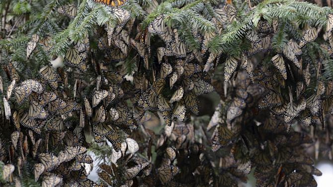 Hundreds of Monarch butterflies rest on a pine tree in Angangueo